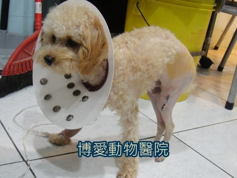 寵物膝蓋骨異位