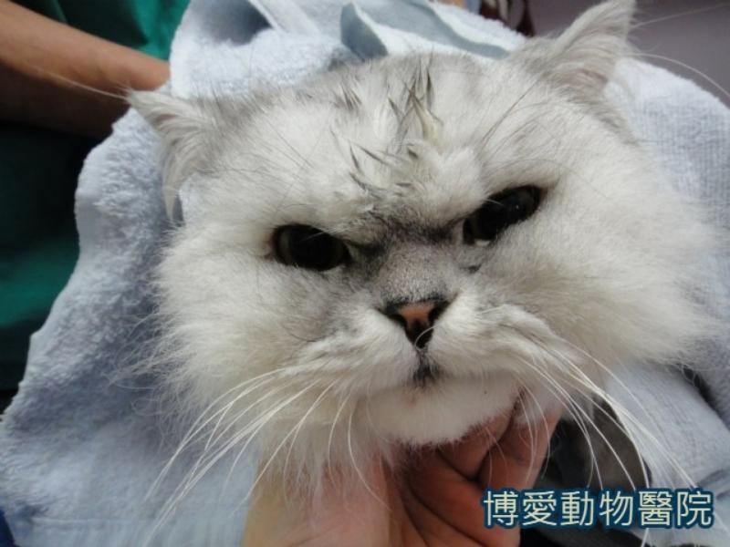 貓咪尿造口問題