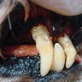 動物醫院洗牙