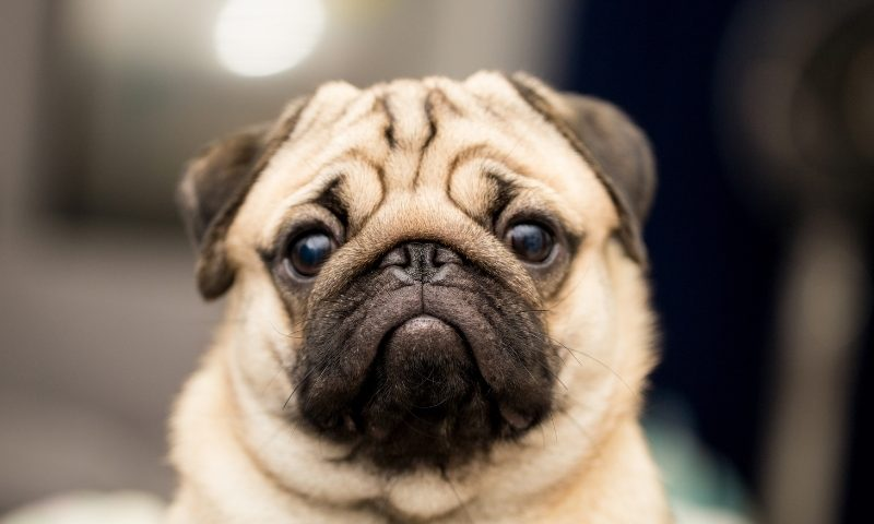 剖析狗狗常見疾病